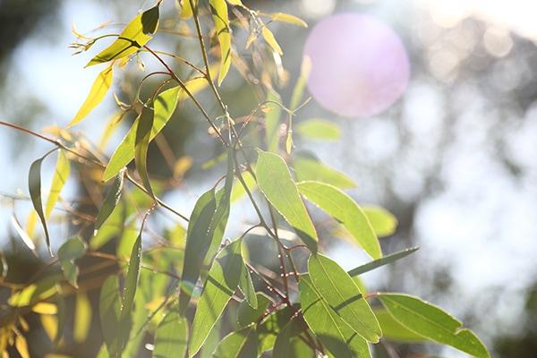Aston Hills Gum Leaves